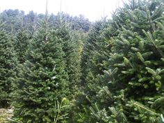 We are dedicated to producing and harvesting only the freshest and finest Christmas Trees available in North America! Fresh Cut Christmas Trees, Christmas Tree Decorations, Christmas Shopping Online, North America, Harvest, Plants, Plant, Planting, Planets