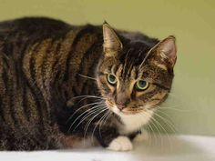 TO BE DESTROYED 2/12/15 *NYC* SENIOR ALERT! SWEET GIRL!! * Manhattan Center *  Beginner Shauny interacts with the Assessor, solicits attention, is easy to handle and tolerates all petting. *   My name is SHAUNY. My Animal ID # is A1026241. I am a spayed female brn tabby and white domestic sh mix.  I am about 10 YEARS old.  I came in as a STRAY on 01/24/2015 from NY 10009,  OWNER HOSP.