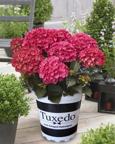 The dark burgundy-green foliage on Tuxedo hydrangeas have them standing out in any crowd! Hydrangea Varieties, Hydrangea Garden, Hydrangeas, Flowering Plants, Planting Flowers, Garden Tips, Garden Ideas, My Secret Garden, Colorful Flowers