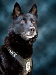 Happy Retirement K9 Maxx from the Coeur d'Alene Police Department in North Idaho.   K9 Maxx is a 10-year-old German Shepherd that worked alongside Officer Andy Sterling as a single purpose narcotics K9 for his entire career.