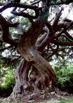 Yew Tree - Chittlehampton