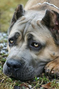 Cane corso-again not a fan of cropped ears but those eyes! Soulful face!