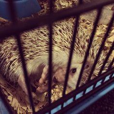 my sleepy hedgehog