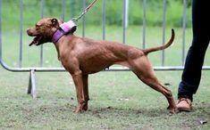 Pit Dog, Dog Games, Hunting Dogs, Working Dogs, 4x4, Pitbulls, Animals, Pit Bulls, Pitbull