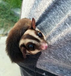 12 Questions to Ask Yourself Before Getting a Sugar Glider