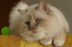 Pretty Birman cat.