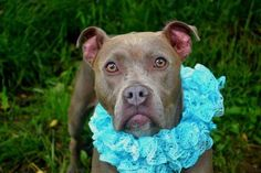 BRIA (enchanting princess) FOUND IN NY....NOW ADOPTABLE!!! PetHarbor.com: Animal Shelter adopt a pet; dogs, cats, puppies, kittens! Humane Society, SPCA. Lost & Found.