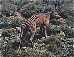 Thylacine Latest News Related Keywords & Suggestions - Thylacine Latest News….