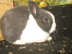 lop lionhead rabbit coloring pictures | dwarf lionhead holland lops mini lops babies bunnies rabbits FOR SALE ...
