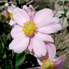 Grape-leaved anemone (Anemone vitifolia 'Robustissima')  blooms in late summer and early autumn with clump forming branches bearing clusters of 10 or more pale pink flowers with oval, green foliage. Grows up to 5 feet tall and 24 inches wide in zones 4 to 8. | Photo: KENPEI/Creative Commons