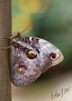 The Illioneus Giant Owl (Caligo illioneus) is an owl butterfly native to Costa Rica & it is widespread in most of SA, particularly in Brazil, Colombia, Costa Rica, Ecuador, Guyana, Peru, & Venezuela. These butterflies preferentially fly in dusk.