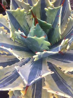 Agave potatorum Verschaffeltii Variegated Never heard of it but it sure is interesting looking Cacti And Succulents, Planting Succulents, Cactus Plants, Planting Flowers, Unusual Plants, Cool Plants, Air Plants, Agaves, Suculent Plants