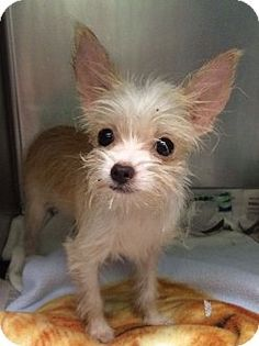 New York, NY - Chihuahua/Yorkie, Yorkshire Terrier Mix. Meet Noni, a puppy for… Chihuahua Mix Puppies, Cute Chihuahua, Cute Puppies, Cute Dogs, Dogs And Puppies, Dog Breeds Pictures, Yorkies, Chihuahuas, Baby Dogs