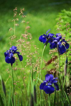 Coral Bells & Siberian Iris