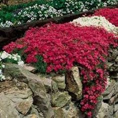 phlox subulata scarlet flame/ATTRACTS: HUMMINGBIRDS!!! Their favorite phlox. Great in rock borders or used as a groundcover for erosion control. Plant with Red Oak Tree which attracts Monarch Butterflies.