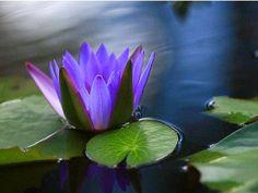 Beautiful Flowers Photography to brighten your Day Beautiful Flowers Pictures, Flower Pictures, Pretty Flowers, Pond Plants, Foliage Plants, Lotus Azul, Blue Lotus, Wildwood Flower, Flor Tattoo