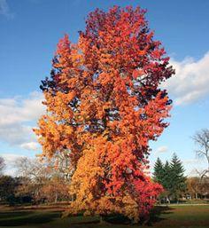 American Sweetgum trees at arborday.org