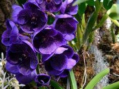 Como cuidar de orquideas vandas