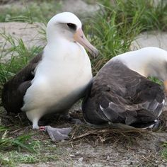 It might not seem that old, but an Albatross named Wisdom is the oldest bird in the known wild. And to top that: Wisdom was still hatching eggs at age 62!