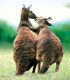 Kangaroos in love...