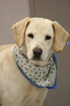 RTO>NAME: Tad  ANIMAL ID: 34849410 BREED: Retriever  SEX: male  EST. AGE: 1 yr  Est Weight: 52 lbs  Health: Heartworm neg  Temperament: dog friendly people friendly  ADDITIONAL INFO: RESCUE PULL FEE: $35  Intake date: 3/13  Available: 3/19