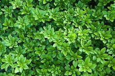 Shade ground covers