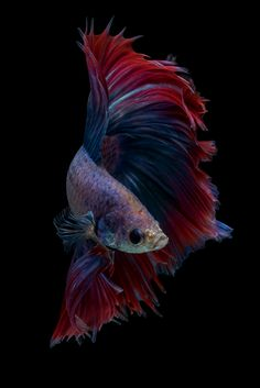 Halfmoon Fancy Betta Fish (da nokkaew) Tags: fish white background fighting isolated betta tropical siamese animal aquarium beautiful beauty art pet red motion exotic aggressive nature luxury tail colorful domestic blue dress eye action elegant color cute aquatic fin beta animals ballet power pose swimming chinese water flame biology scale freshwater dancer colourful hobby space pop