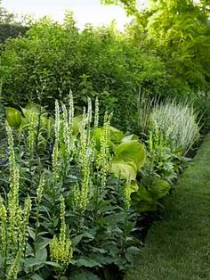 """Take a """"less is more"""" approach to color. Conway limited the palette of this border to mostly chartreuse-yellow and greens, choosing plants for foliage and form, making the garden more interesting for longer period.Including: Verbascum chaixii; Hosta 'Sum and Substance'; Philadelphus coronarius 'Aureus'; and Iris pallida 'Variegata. Landscaping Tips from Sean Conway - Country Living Green Sheen Garden Walkway - Landscaping Tips from Sean Conway - Country Living"""