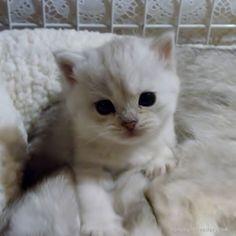 みんなの子猫ブリーダー|アメリカンショートヘア 女の子 シェーデットシルバー 2015/09/01生まれ 東京都 子猫ID:1510-00371 ※とても人懐っこい子です(=^・^=)