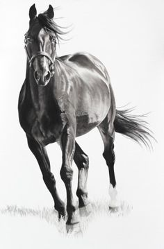 Equus-XI charcoal on ragboard.  Virginia Fifield