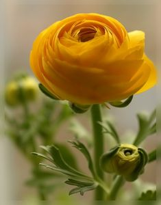 canary yellow ranunculus, sunshine petals opening to the day