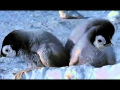 A youtube video (1:56) showing baby penguins taking their first steps... narrated by Morgan Freeman.
