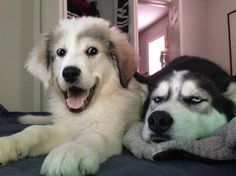 Friday's Fun And Aww: 'Mom, Do You Think I'm Fat?' 'No, You're Just A Little Husky Puppy!'