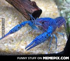 The cobalt blue crayfish is the boss of freshwater aquariums.