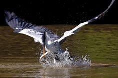Mike Bueno (9) Garça moura capturando peixe   Pantanal.