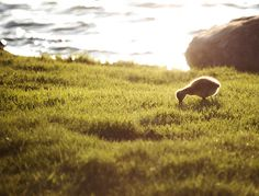 Duck by pond in #golden hour. #photography