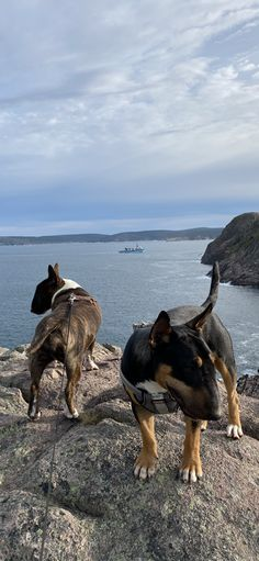 Bull Terriers, Bullies, Doggies, Adventure, Friends, Water, Outdoor, Cutest Dogs, Little Puppies