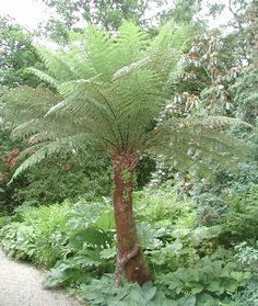 Tree fern. I want for our front landscape. Great alternative to the thousands of palm trees around!