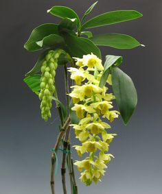 Dendrobium densiflorum - the pendant orchid produces orchid flowers that hang pendant like.. it's fragrant too and smells like honey..