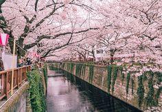 A floração das sakuras (ou cerejeiras) são um verdadeiro show da natureza. No Japão, elas acontecem entre março e maio, e diversas festas são organizadas para apopulaçãocelebrar o nascimento dessas flores tão bonitas, delicadas e coloridas. E o fotógrafo Yuchi Yokota, baseado em Tóquio, no Japão, aproveitou esse espetáculo para fazer fotografias incríveis das flores, que ficam nas árvores de uma a duas semanas, para então caírem e formarem lindos tapetes no chão. Pra sonhar acordado…