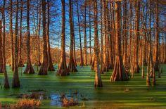 Swamp at sunrise, Breaux Bridge, Louisiana..