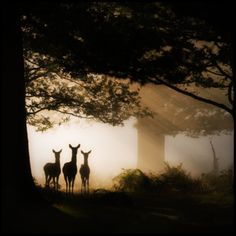Photo: Winner of the UK Wildlife Photography Competition Mark Simms. Three fallow deer in Richmond Park. // Black and White Photo Black White Photos, Black And White Photography, Wildlife Photography, Art Photography, Silouette Photography, Framing Photography, Photo Animaliere, Photo Blog, Richmond Park