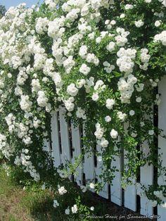 Hibiscus House Climbing Iceberg Roses