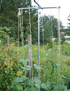 Build a Pole Bean support-- I really like this design; easy to get at all the beans.