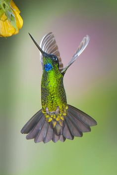 Buff-winged Starfrontlet by Jim Frandeen - Showing off the iridescence of its lovely feathers.