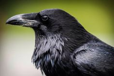 The Majestic Raven - one of natures most intelligent birds, with an organized social structure very much like humans. Able to imitate any sounds including other birds, animals and the human voice. Spiritually Ravens have the power to carry consciousness to alternate dimensions, realities and the spirit world.