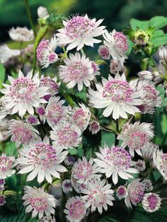 "Pink Masterwort 'Astrantia Buckland' - Stunning detail on each pincushion-like mound. Blooms early summer to late fall. Height 18-24"". Zones 4-7"