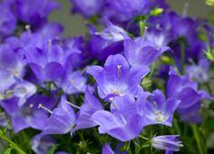 2000 graines-Hardy vivace Bell Fleur Campanula Persicifolia bleue