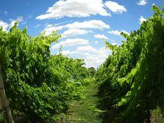 vineyard, carmelo, uruguay, posada campo tinto, el legado, bodega, wine