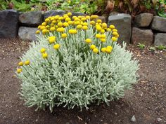Cypress Lavender Cotton  Evergreen                                           Height: 	1-2 feet  Spread: 	1-2 feet  Bloom time: 	Spring, Summer  Flower color: 	Yellow  Light Exposure: 	Sun